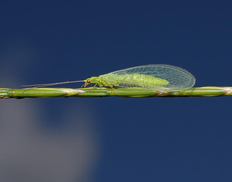 Chrysoperla sp, July