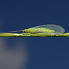 Chrysoperla sp, July
