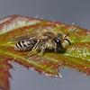 Andrena flavipes, June