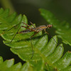 Micropeza sp, June