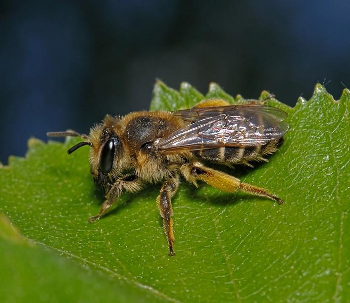 Andrena ovatula, May