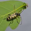 Rutpela maculata, May