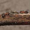 Formica rufa with Andrena argentata prey, June