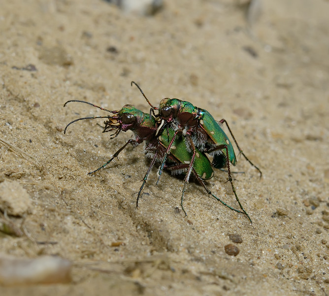 Green Tiger Beetle - Cicindela campestris pair, June