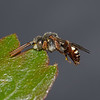 Nomada baccata male, July