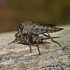 Robber fly with prey, August