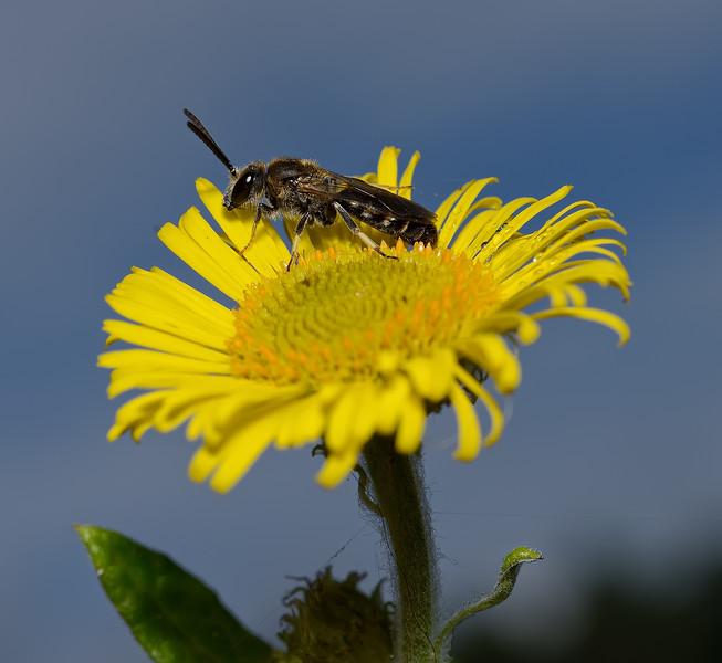Lasioglossum sp, September