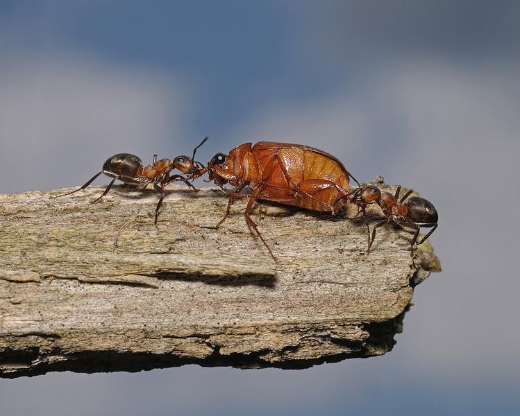 Formica rufa with beetle prey, July