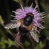 Volucella pellucens male, July