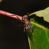 Formica rufa, June