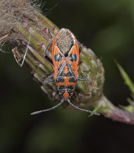 Corizus hyoscyami, August