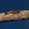 Ammophila sabulosa, June