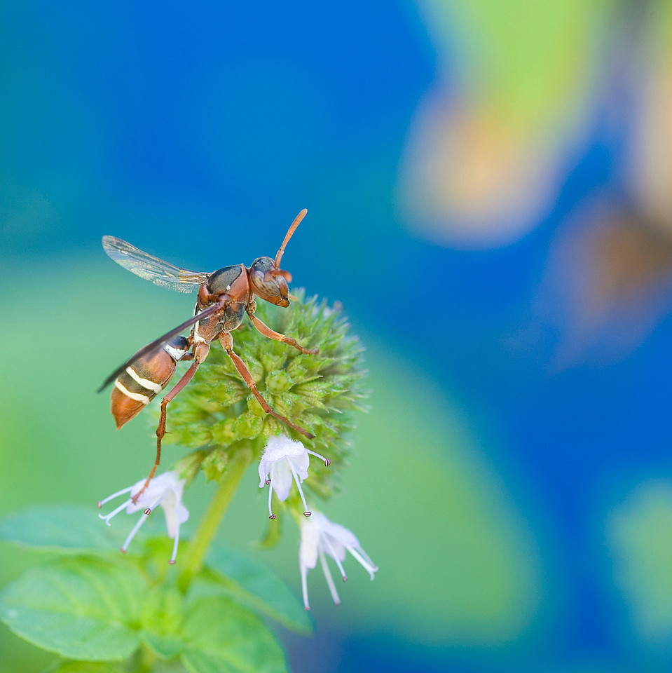Paper wasp on mint blossom