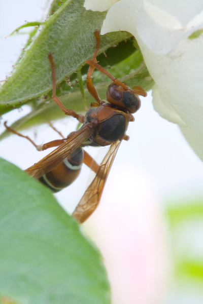 Paper wasp, Fam. Vespidae, Ropalidia