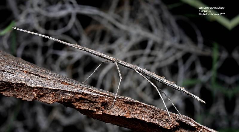 Hyrtacus tuberculatus