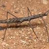 Pachymorpha spinosa