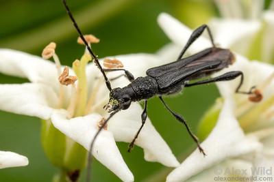 Callimoxys nigrinus