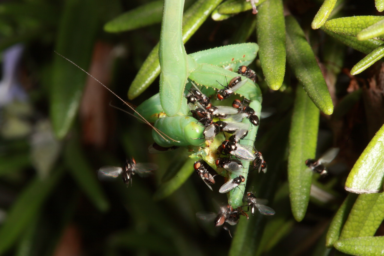 Common green mantid eating a nezara viridula (green vegetable bug), surrounded by black scaenger flies