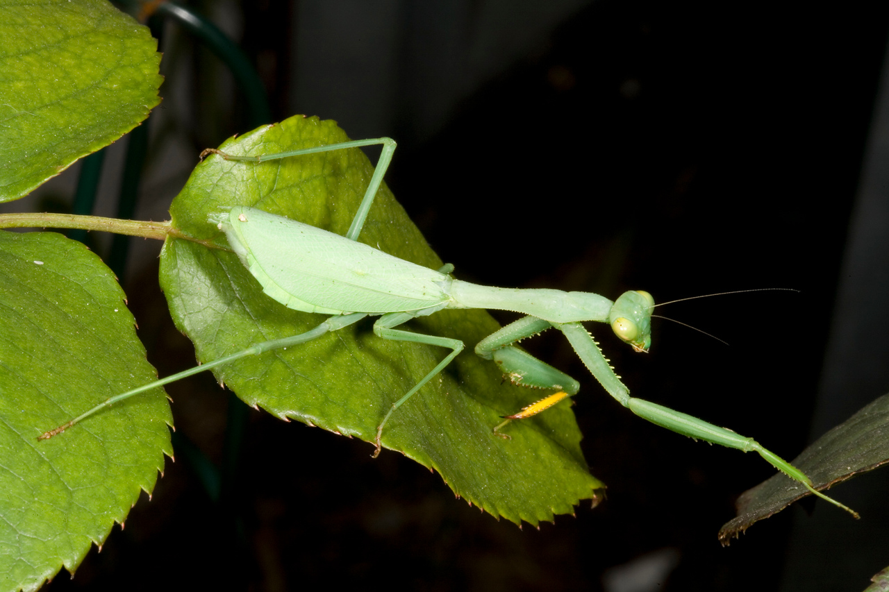 Common green mantid, sphodromantis gastrica, on a rose bush. These mantids are unusual in that their diet consists mainly of caterpillars.
