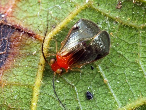 Calopsocus sp.