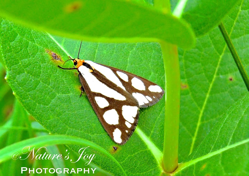Colona Moth