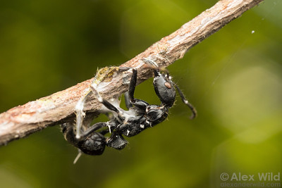 Ophiocordyceps on Neoponera