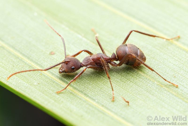 Camponotus nidulans