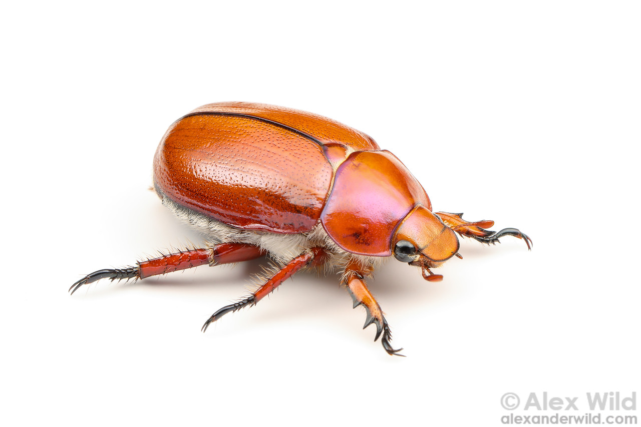 Anoplognathus sp. - Christmas beetle