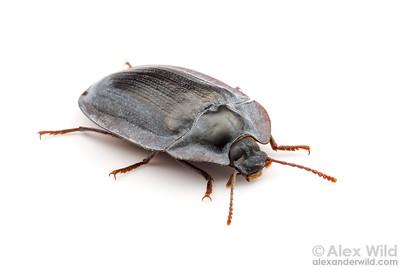 Pterohelaeus sp.