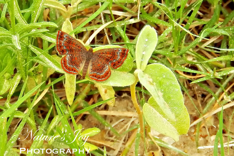 Red-boardered Meadow Mark