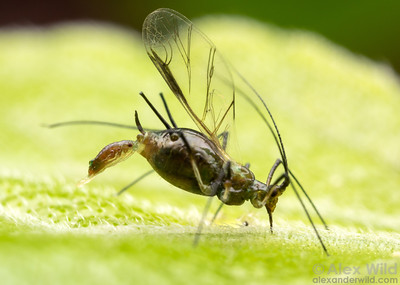 Aphid live birth