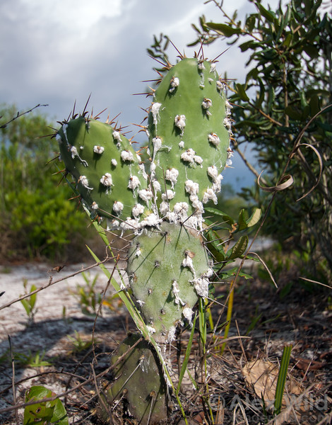 Dactylopius - Cochineal scale