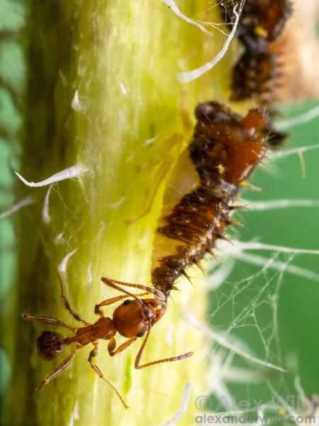 Entylia carinata & Pheidole dentata