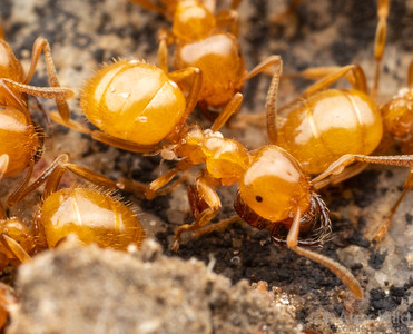 Antennophorus mite on Lasius ant