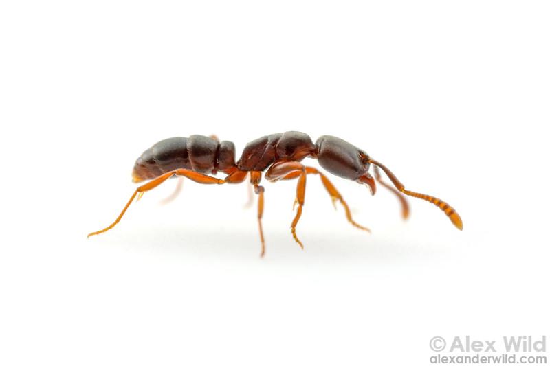 Hypoponera opaciceps
