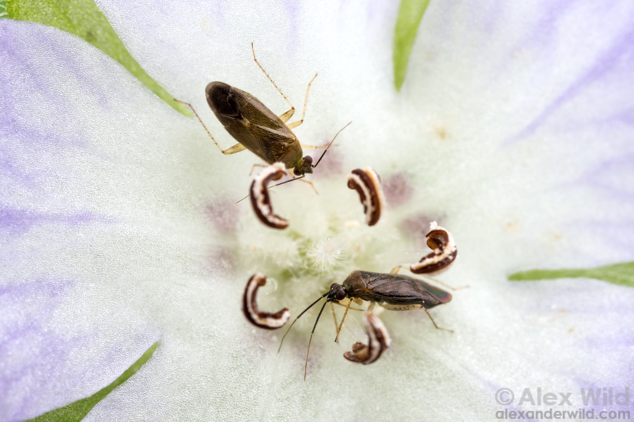 Miridae