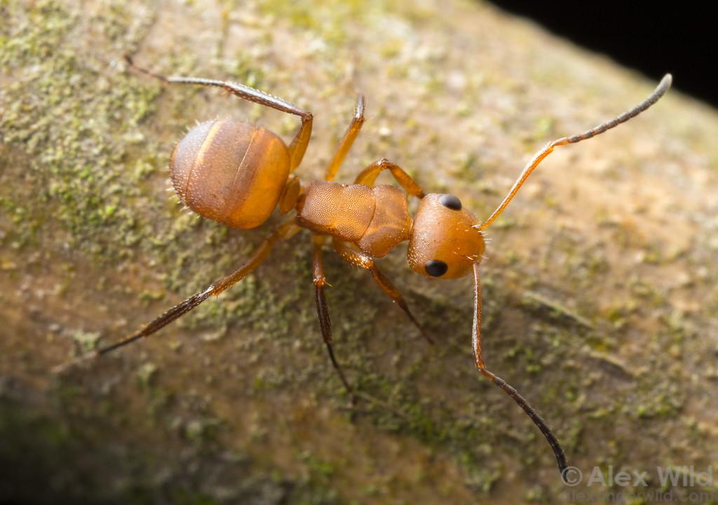 Camponotus rectangularis
