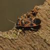 Arocatus longiceps, February