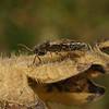 Heterogaster urticae, July