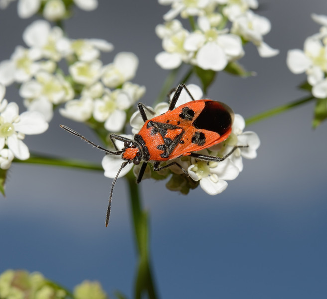 Corizus hyoscyami, May