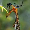 Harpobittacus australis