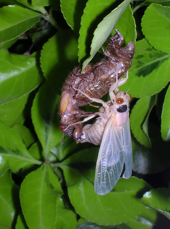 This newly-molted cicada hangs motionless from its empty larval shell waiting for its wings to dry and its exoskeleton to begin hardening. Right after this picture was taken it let go and dropped to the ground under the shrub, which is right next to the side of my house. <br /> <br /> 5-23-04