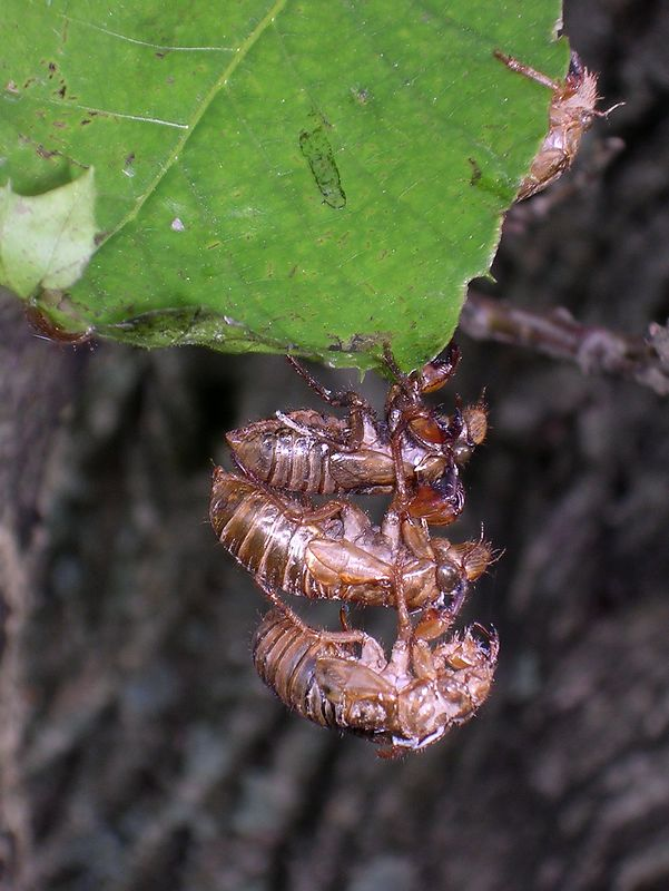 So many nymphs emerged from under that tree that the leaves were all full, and they stacked themselves up like cordwood to molt.<br /> <br /> 5-17-04