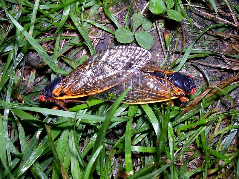 Female periodical cicadas are choosy about which male they will mate with, but this one found a suitor she approved of. Like many insects, cicadas will stay coupled for an hour or more. <br /> <br /> 5-28-04