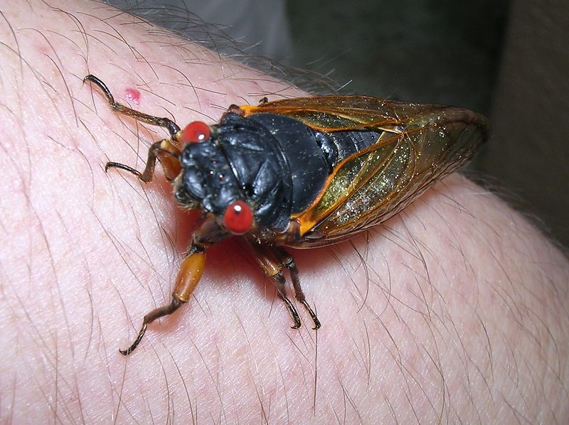 Still playing with cicadas. They're ubiquitous here in central Maryland.  <br /> <br /> 5-31-04