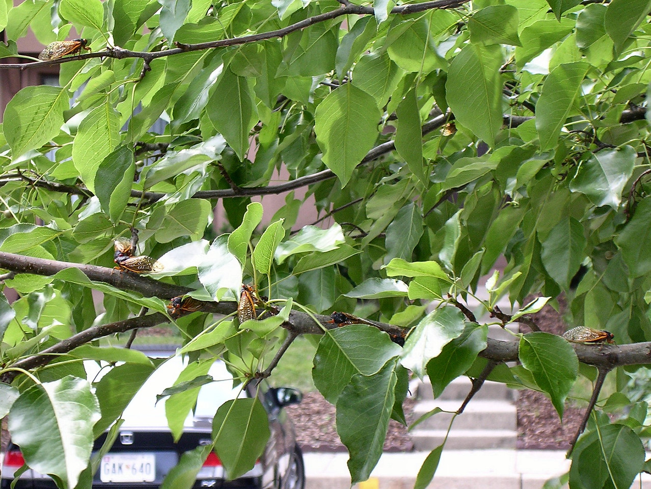 There are 7 cicadas on just a short section of a single pear branch. <br /> <br /> 5-28-04