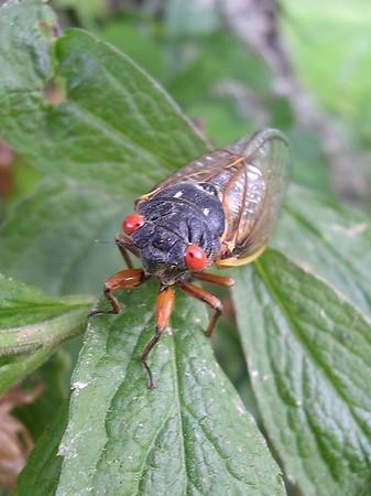 17-Year Cicadas 2004