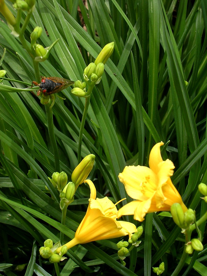 A cicada tries to climb the leaves of my neighbor's daylilies. <br /> <br /> 5-28-04