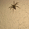 A grass spider, also called funnel weaver spider (<i>Agelenopsis</i> sp.), wandering along one of the pillars of my porch.  10-14-11