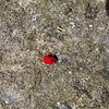 "Beautiful <a href=""http://chicagowildernessmag.org/issues/fall2004/mite.html"" target=""_blank"">red velvet mite</a> (<i>Trombidium</i> sp.).  4-12-06"